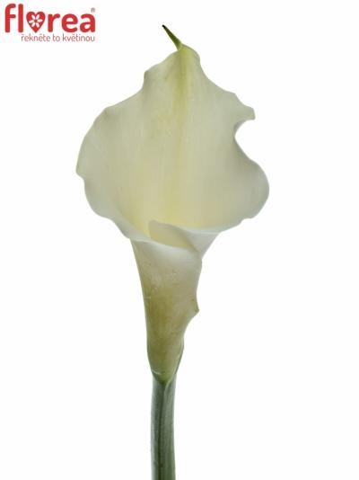 ZANTEDESCHIA AE WHITE DREAM 80cm