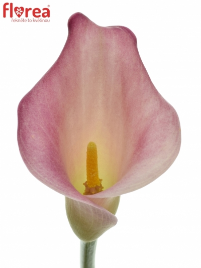 ZANTEDESCHIA CANDY DREAM 80cm