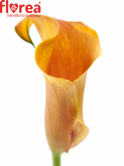 ZANTEDESCHIA CAPTAIN ODEON 40cm