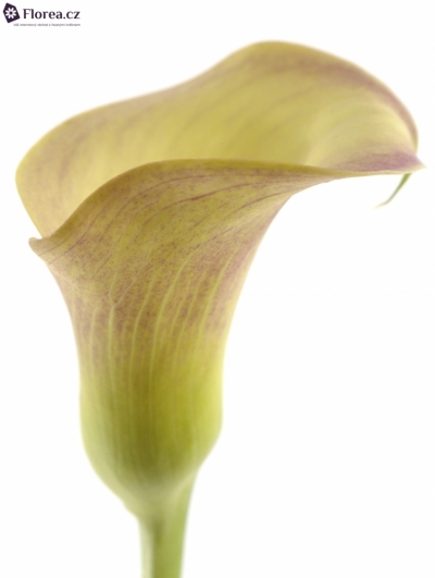 ZANTEDESCHIA HONEYMOON 60cm