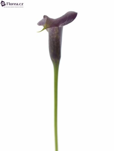 ZANTEDESCHIA PACO 40cm