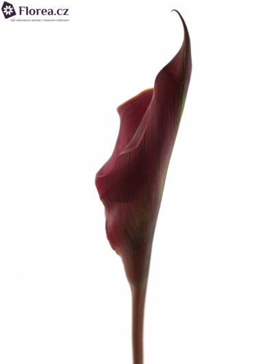 ZANTEDESCHIA RED SUNRISE 70cm