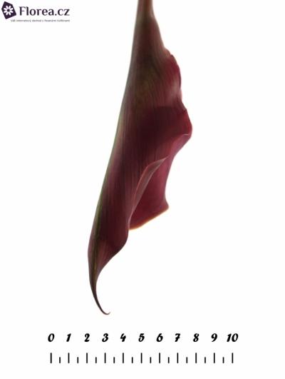 ZANTEDESCHIA RED SUNRISE 80cm