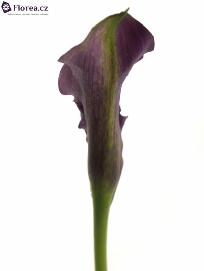 ZANTEDESCHIA RUBYLITE ROSE 40cm