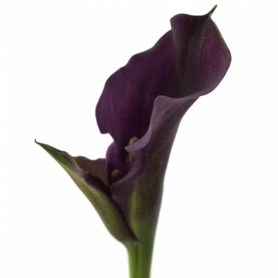 Kala RUBYLITE ROSE