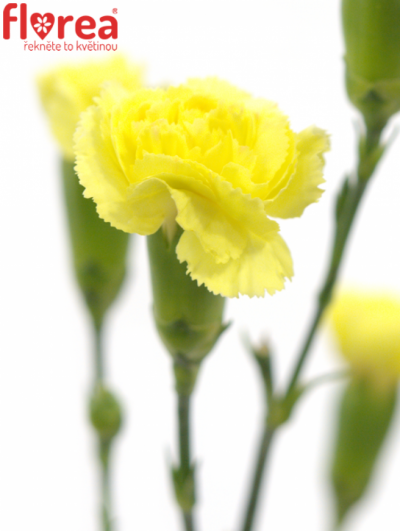 DIANTHUS TR YELLOW TWIN 60cm/4+