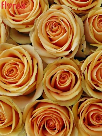 Krabička čajových růží ALCHEMY šampaň 19x9cm