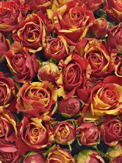 Krabička červenožlutých růží FIRE FLASH červená 19x9cm