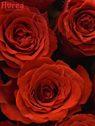 Krabička červených růží BRIGHT TORCH šampaň 19x9cm