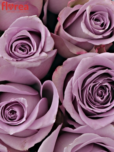 Krabička fialových růží DANCING CLOUDS! modrá 19x9cm