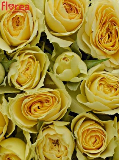 Krabička krémových růží BANDOLERO červená 15x8cm
