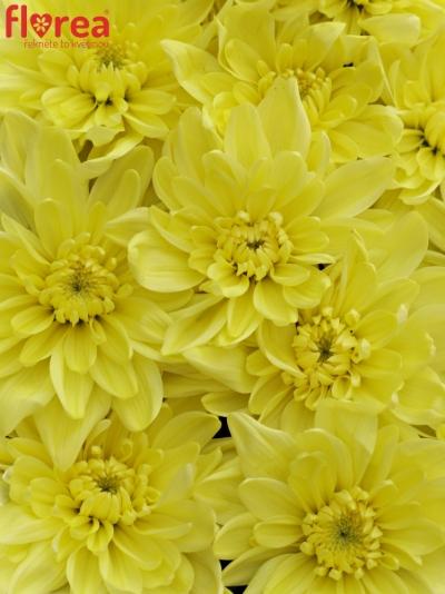 Krabička květin JOMBBE MODRÁ 19x9cm