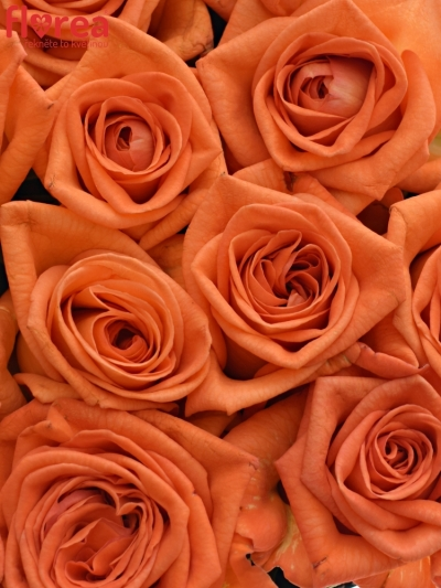 Krabička oranžových růží NARANGA modrá 24x10cm