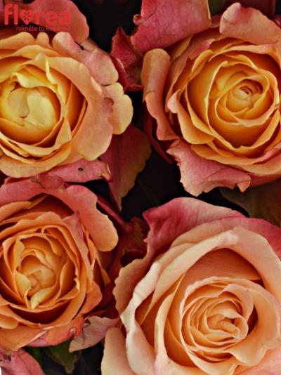 Krabička růží 3D šampaň 24x10cm