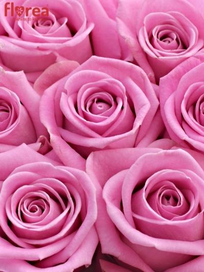Krabička růží AQUA šampaň 13,5x8cm