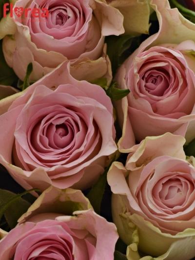 Krabička růží BISOU červená 15x8cm