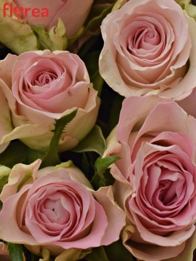 Krabička růží BISOU červená 19x9cm