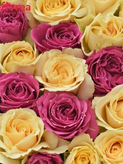 Krabička růží ESTE VIOLA šampaň 15x8cm
