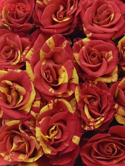 Krabička růží FIRE FLASH modrá 15x8cm