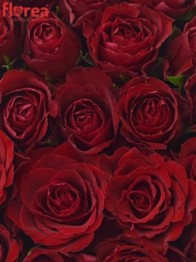 Krabička růží MADAM RED červená 24x10cm