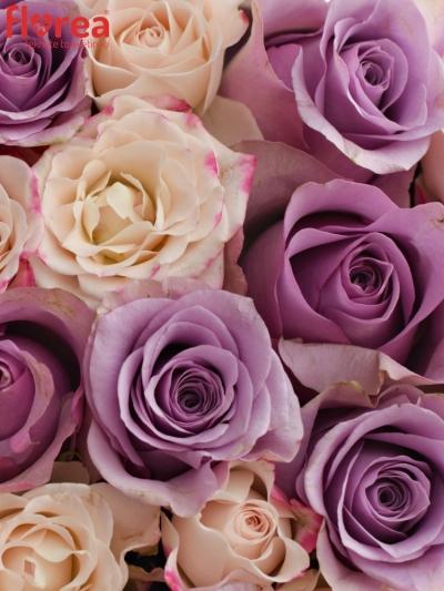 Krabička růží NIGHTFLEX šampaň 15x8cm