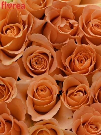 Krabička růží TRIXX! šampaň 15x8cm