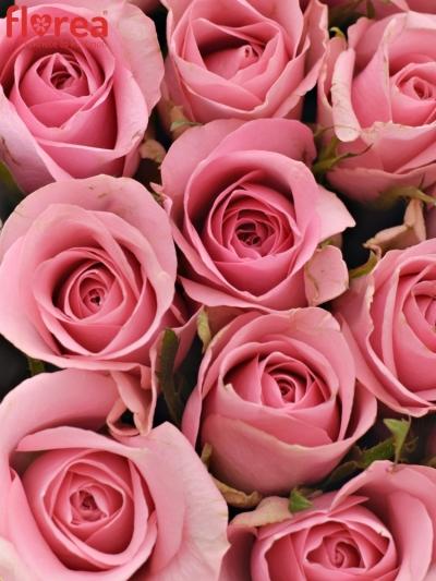 Krabička růžových růží ELIZA šampaň 15x8cm