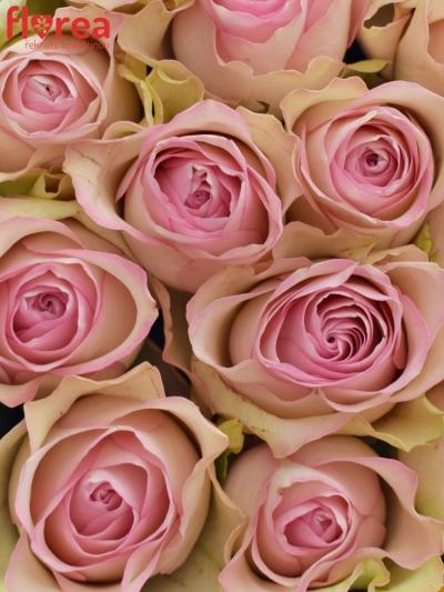 Krabička růžových růží LOVELYJEWEL šampaň 15x8cm