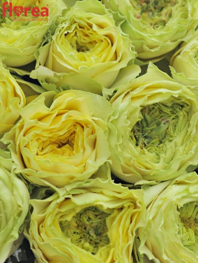 Krabička zelených růží GRASSHOOPER šampaň 19x9cm