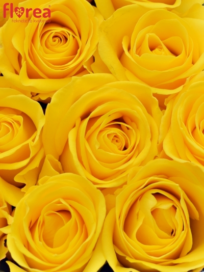Krabička žlutých růží INTENSE modrá 18x8cm