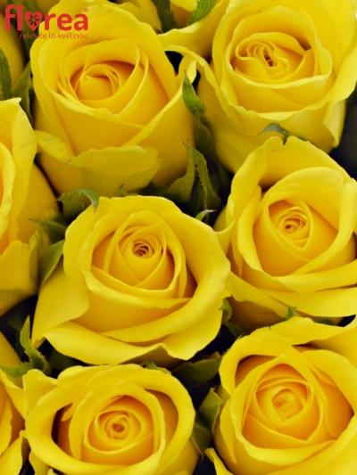 Krabička žlutých růží MOONWALK modrá 15x8cm