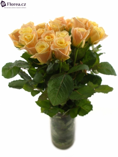 Krémová růže ALMAS+ 50cm (L)