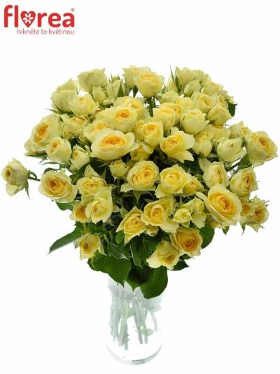 Krémová růže BANDOLERO 50cm/4+