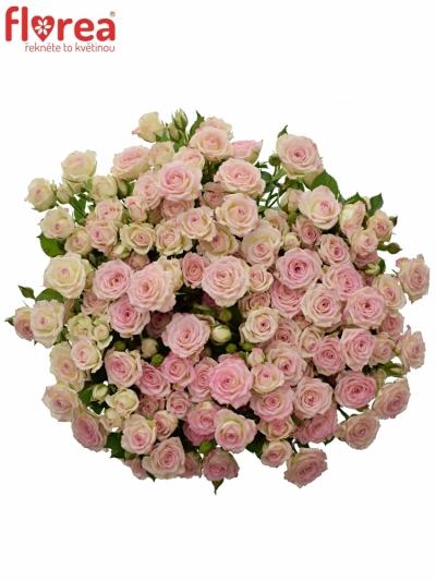 Krémová růže CREAMY TWISTER 50cm/4+