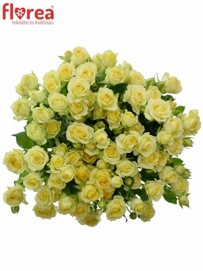 Krémová růže ESTAVANA 50cm/4+