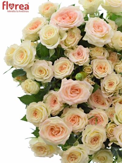 Krémová růže LENNE 40cm/3+