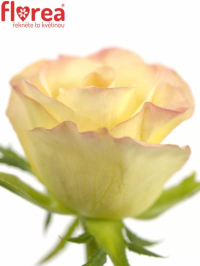 ROSA MARILYN 60cm (S)