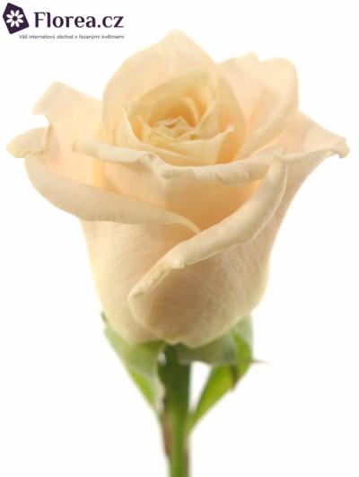 Krémová růže MEDEO 60cm