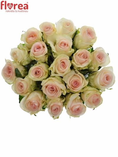 Krémová růže SENORITA 50cm