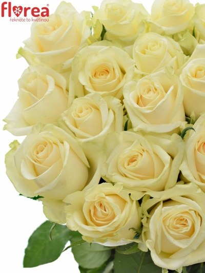 Krémová růže SO PEACH@ 60cm (XL)