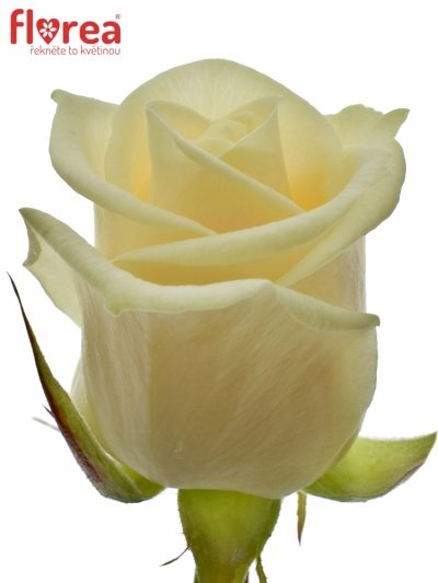 Krémová růže VENDELA 90cm (L)