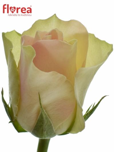 Krémovozelená růže LA BELLE 60cm (M)
