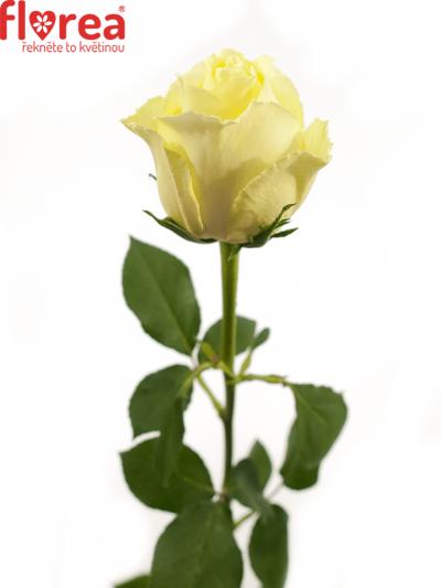 ROSA VANILLA SKY 40cm