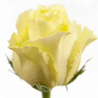 Krémovožlutá růže VANILLA SKY 50cm