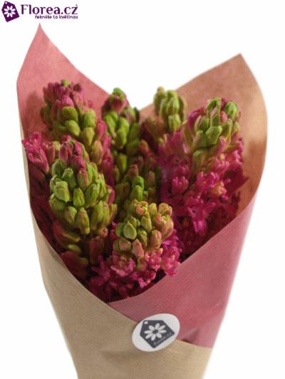 Kytice 10 růžových hyacintů JAN BOS 25cm-papír