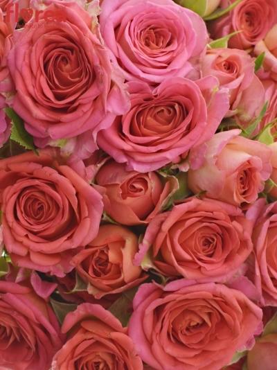 Kytice 100  květů růží CHIMO