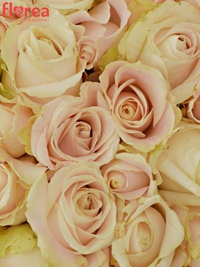 Kytice 100 bílých růží ADOR AVALANCHE+ 60cm
