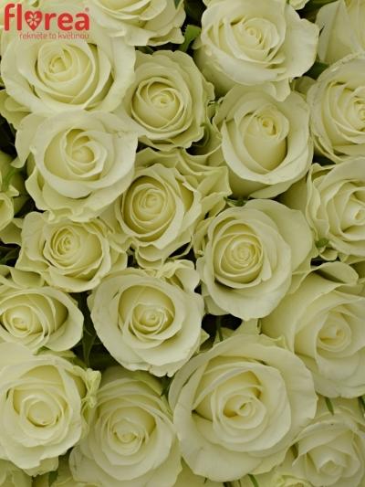 Kytice 100 bílých růží ALPE D´HUEZ