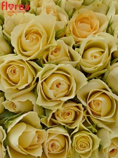 Kytice 100 bílých růží ANGELA 40cm