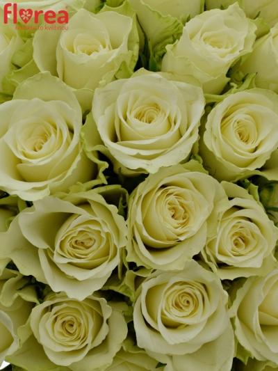 Kytice 100 bílých růží ATHENA 50cm